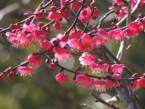 梅の味覚フェアが神戸岡本で開催中