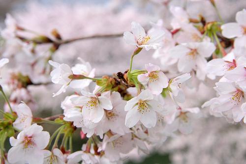 神戸・岡本南公園で観桜会があるよ ※区長さんの日記にも紹介あり