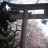 神戸・御影の弓弦羽神社で2017年4月2日「御影花びらまつり」が開催されるよ【※写真付
