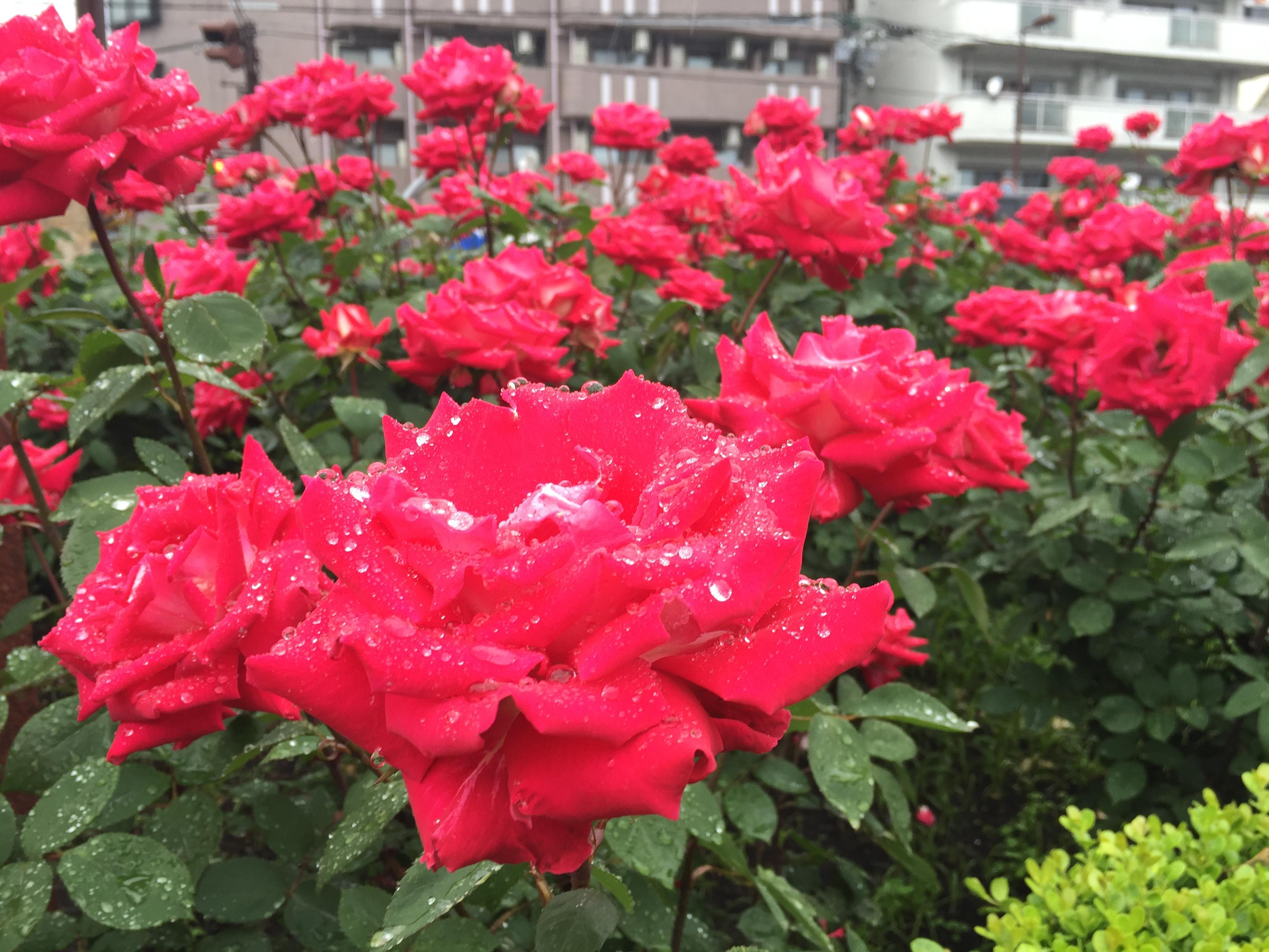 東灘・本山街園バラ園が満開だよ ※バラの見頃写真あり