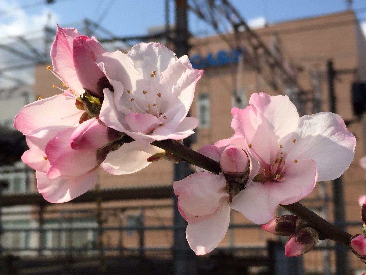 神戸・JR住吉駅沿いの花壇はただ今満開、「アーモンドの樹木」が新登場だよ!【※写真付レポ】