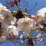 「須磨 妙法寺川さくらまつり」が4/8に開催されるよ【須磨特集&イベント告知】