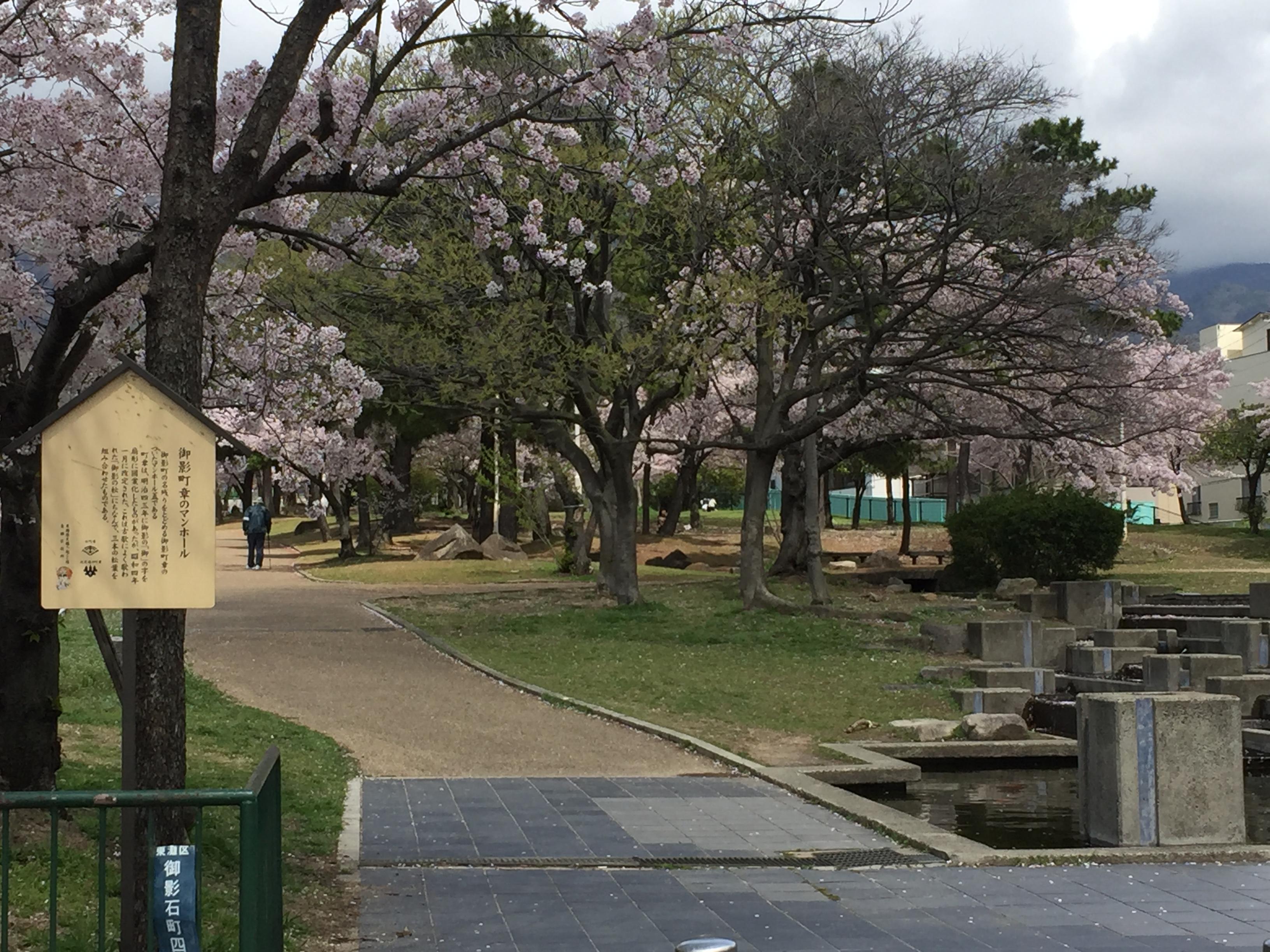 東灘・灘の境界にある石屋川公園の桜が満開だよ【写真で見るお花見スポット】