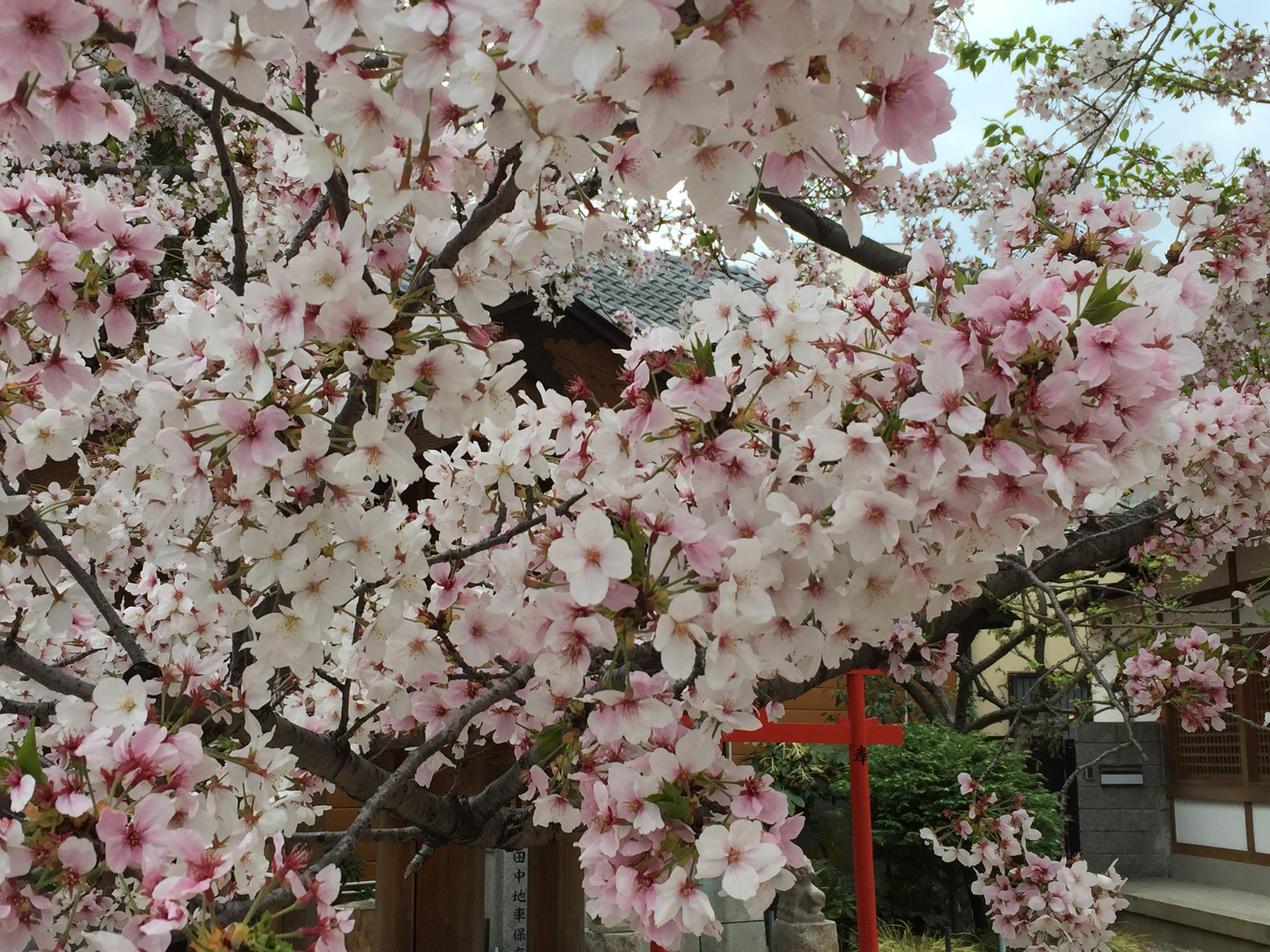 神戸・田中にある三王神社はしだれ桜も楽しめる街スポットだよ【お花見特集】