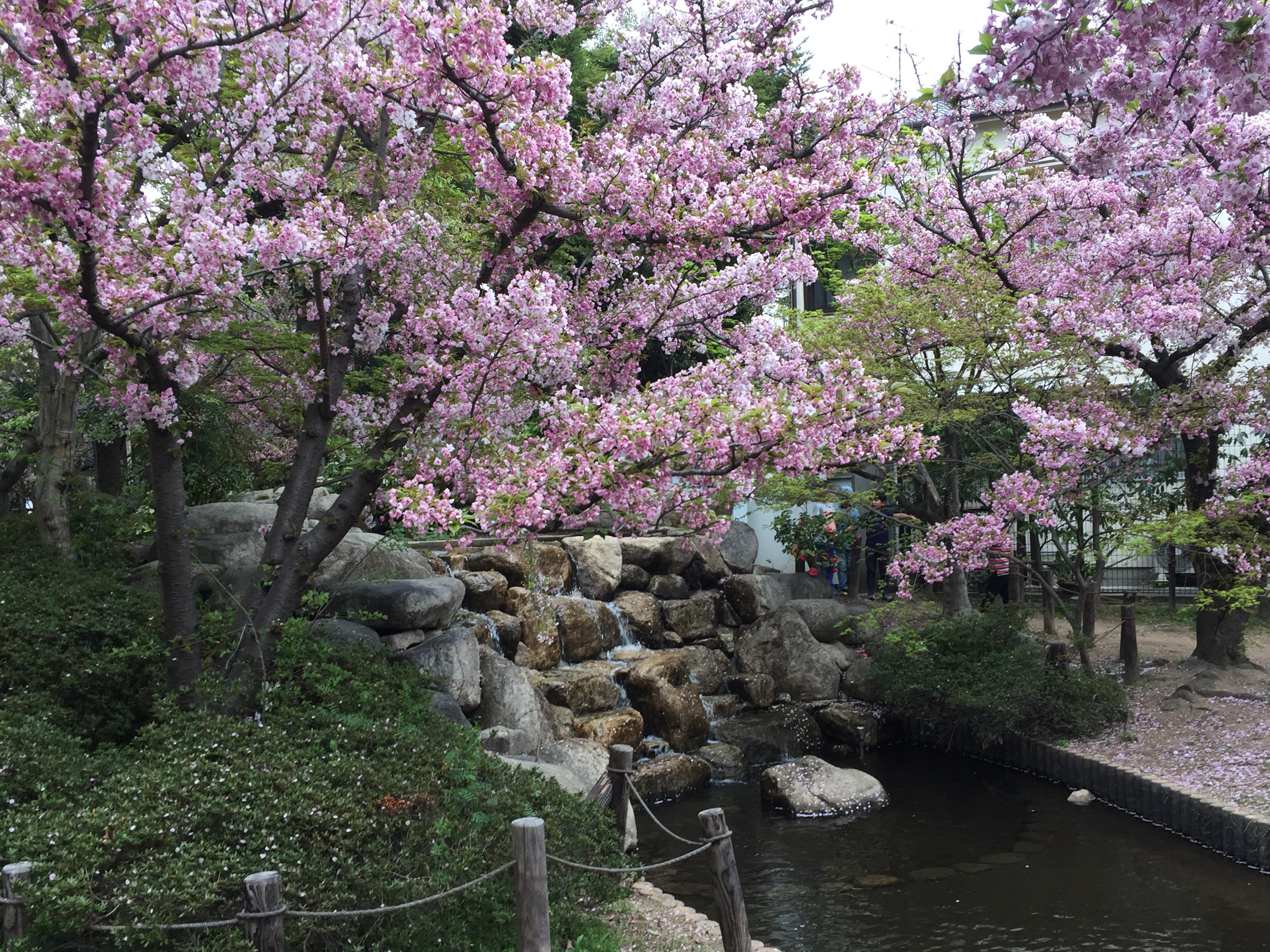 神戸「桜守公園(岡本南公園)」水辺でササベザクラとヤマザクラを愛でよう【お花見特集】