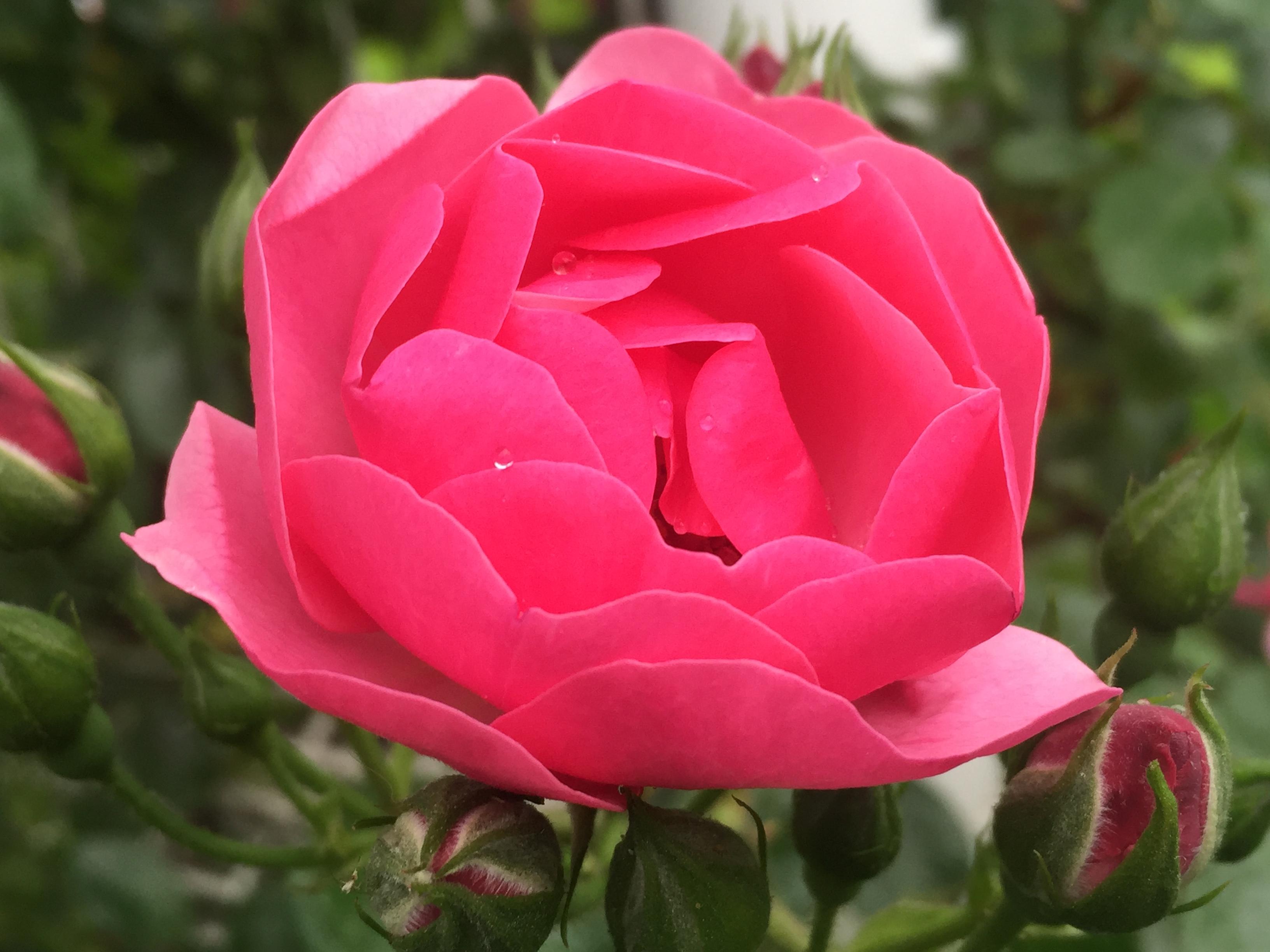「第6回六甲アイランドバラ祭」が5/13~5/28まで開催されるよ【※イベント告知】
