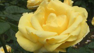 神戸・本山にある「バラ園」のバラが見頃だよ【※開花ショットあり】