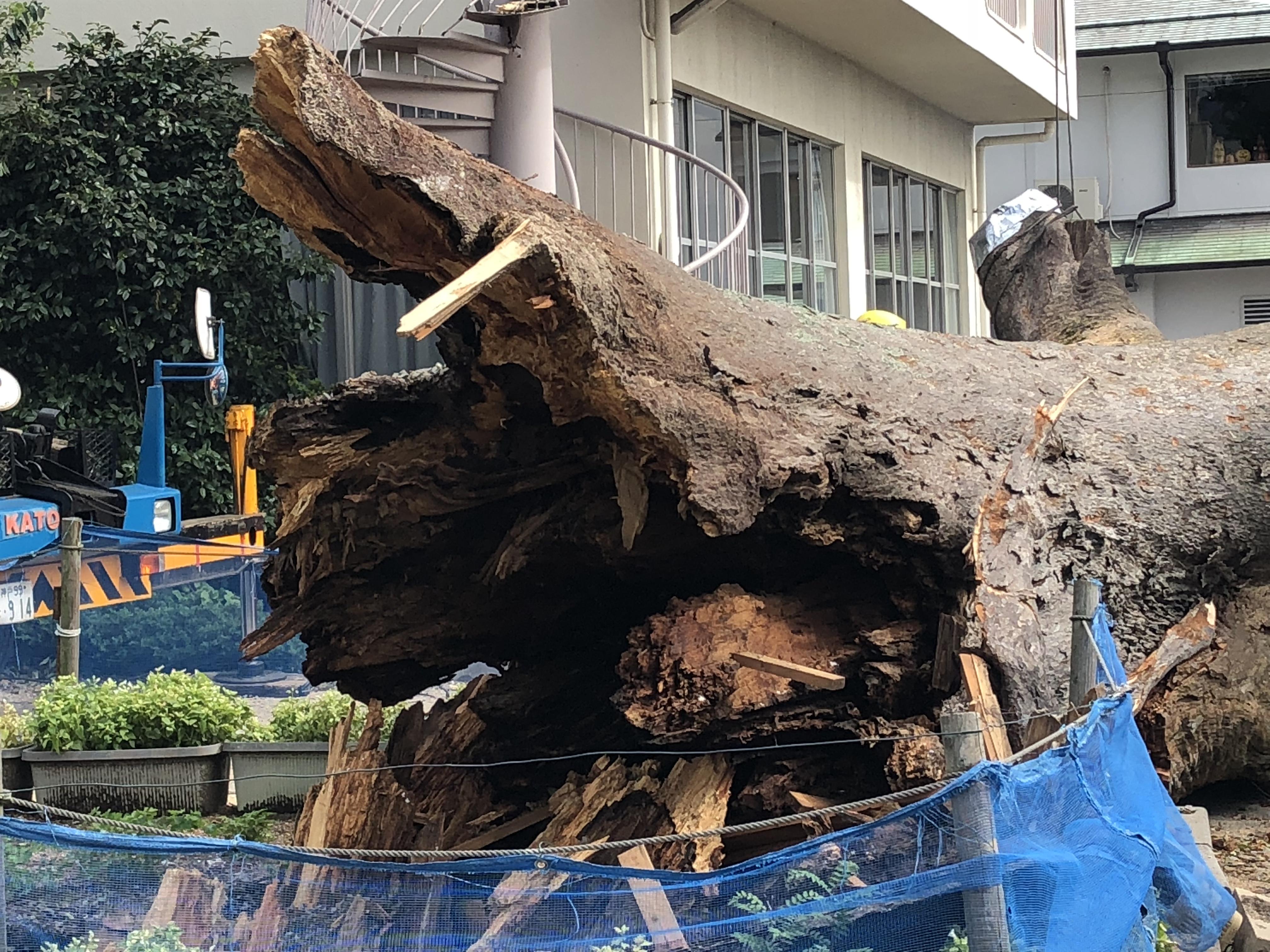 神戸・岡本にある鷺宮八幡神社の市天然記念物「鷺の森のケヤキ」が台風で折れて撤去されるよ【※作業写真あり】 #鷺宮八幡神社
