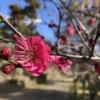 神戸・岡本の「岡本梅林公園」の梅が咲き始めたので、見に行ってきた! #岡本梅林公園