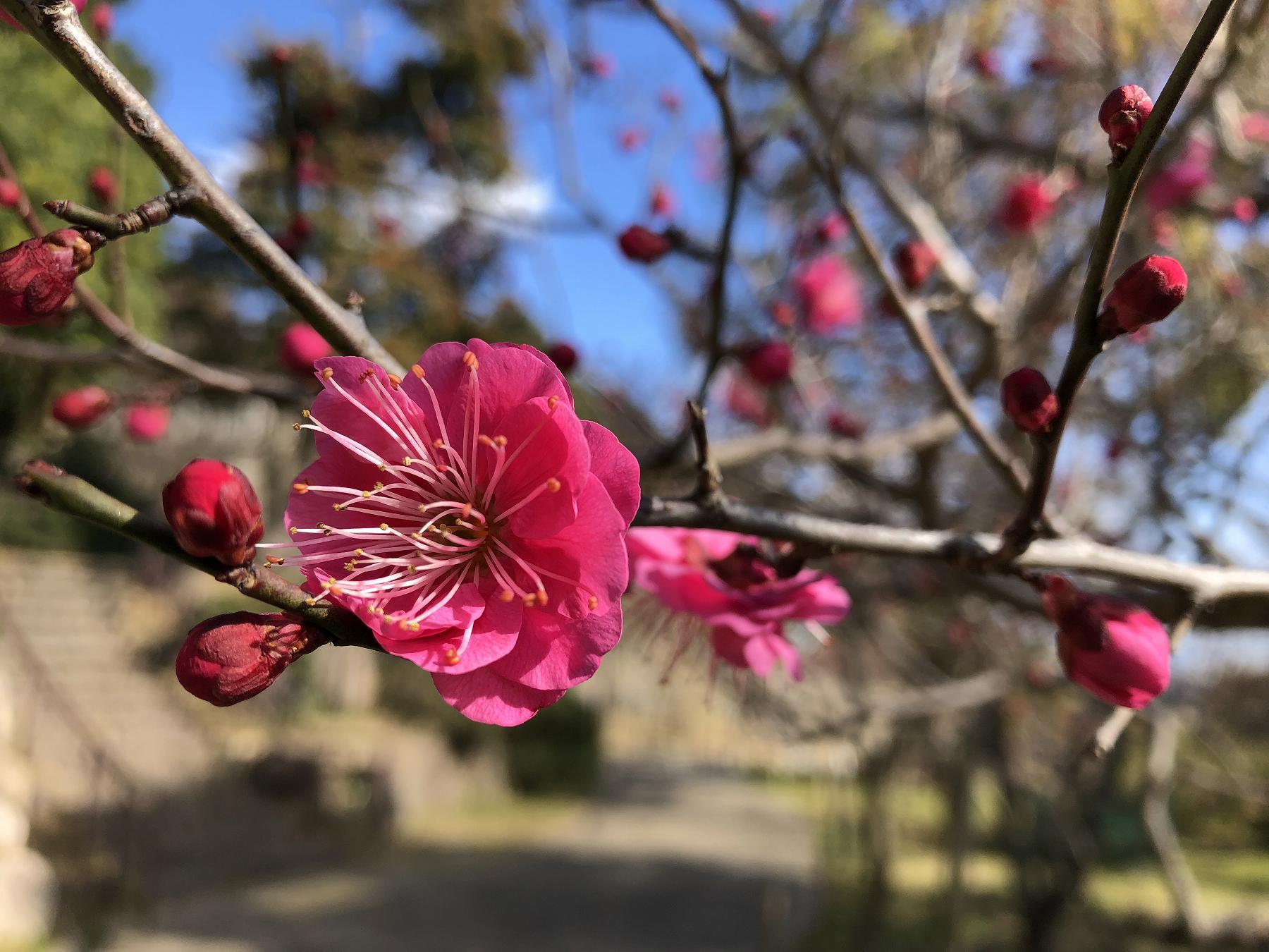 神戸・岡本の「岡本梅林公園」の梅が咲き始めたので、見に行ってきた! #岡本梅林公園 #梅 #阪急岡本 #梅一つ火会
