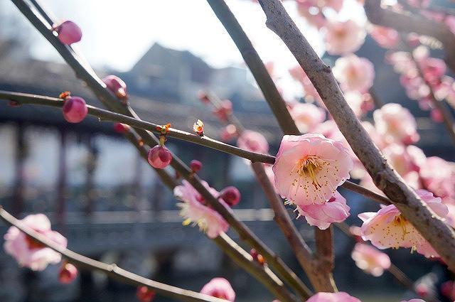 須磨離宮公園で2/9~2/25まで「第25回梅見会」を開催中! #須磨離宮公園 #梅見会 #須磨区