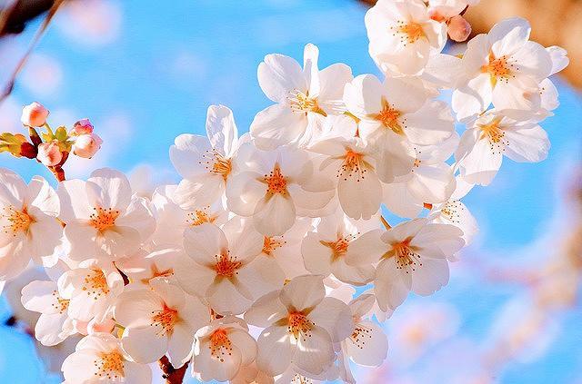 神戸・灘の王子動物園で2018年4月5日(木)~7日(土)「夜桜通り抜け2018」が開催されるよ! #お花見 #王子動物園 #桜通り抜け