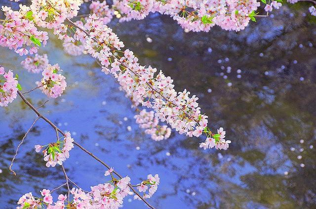 芦屋川沿いで「第30回芦屋さくらまつり」が2018年4月7日(土)と8日(日)に開催されるよ! #芦屋さくらまつり #芦屋 #お花見