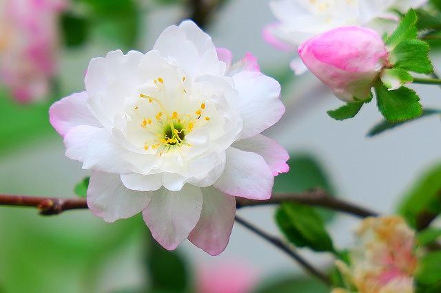 西宮で2018年4月8日(日)「第52回 西宮さくら祭」が開催されるよ! #西宮さくら祭 #お花見