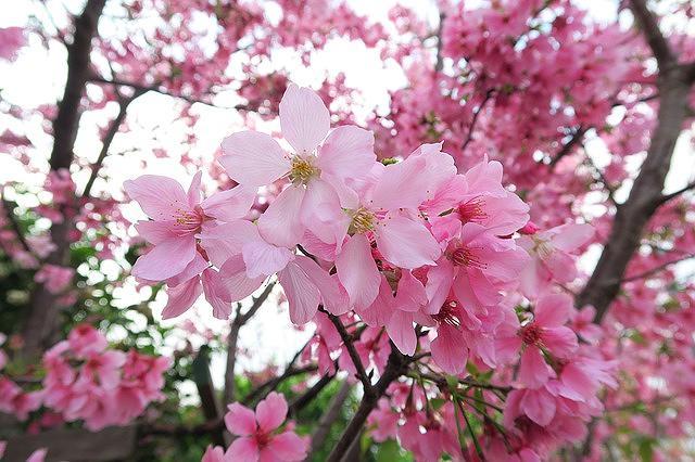 「有馬さくら祭」が2018年4月8日(日)に開催されるよ! #有馬温泉 #神戸観光 #お花見 #神戸市北区