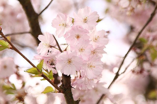 神戸・灘区の都賀川公園で「第25回なだ桜まつり」が4/7(土)に開催されるよ! #なだ桜まつり #お花見 #神戸市灘区