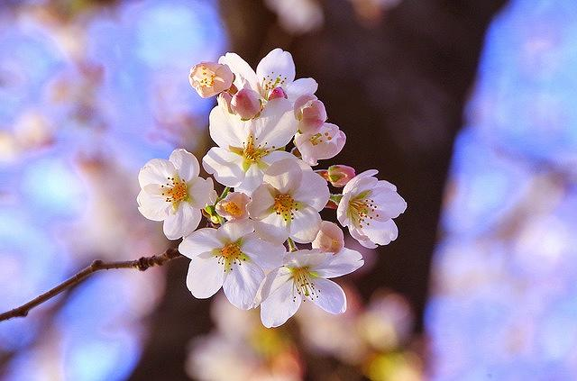 「須磨 妙法寺川さくらまつり」が2018年4月7日(土)に開催されるよ! #須磨区 #妙法寺川さくらまつり #お花見