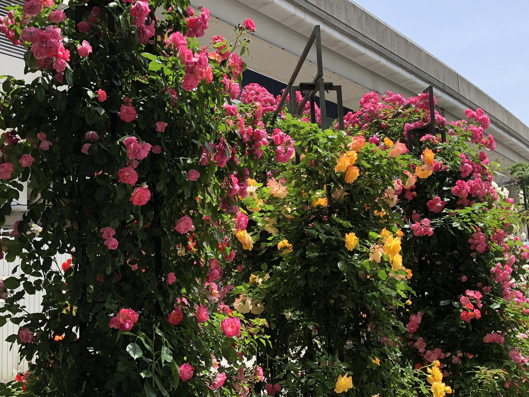 「第7回六甲アイランドバラ祭」がRIC ROSE GARDENで5/27(日)まで開催中!バラを堪能してきた♪ #六甲アイランドバラ祭り #東灘区