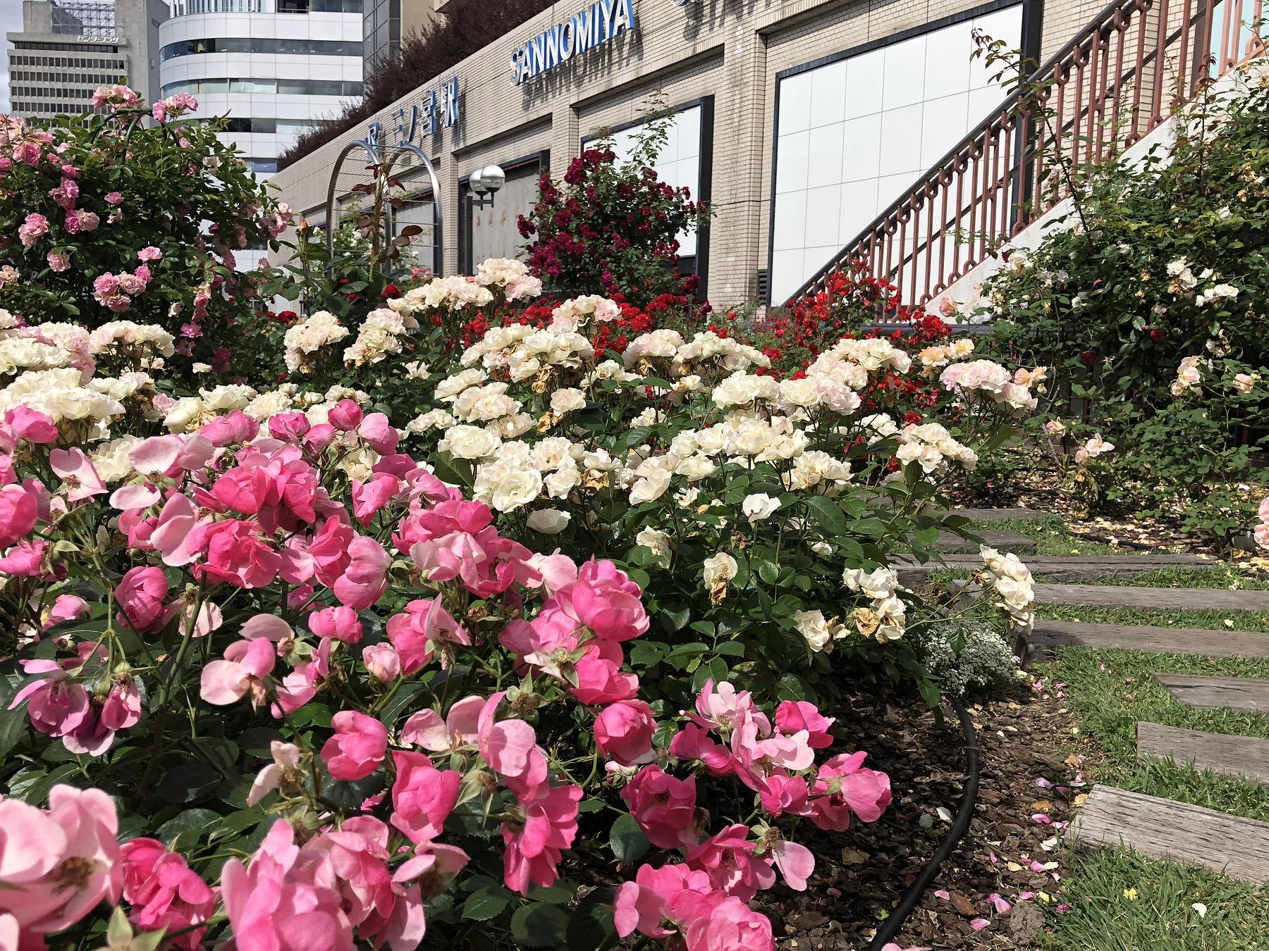 JR三ノ宮駅南側デッキにある「バラ園」はバラが満開だよ! #JR三ノ宮駅 #神戸観光 #ふれあい花壇 #三宮ターミナルホテル