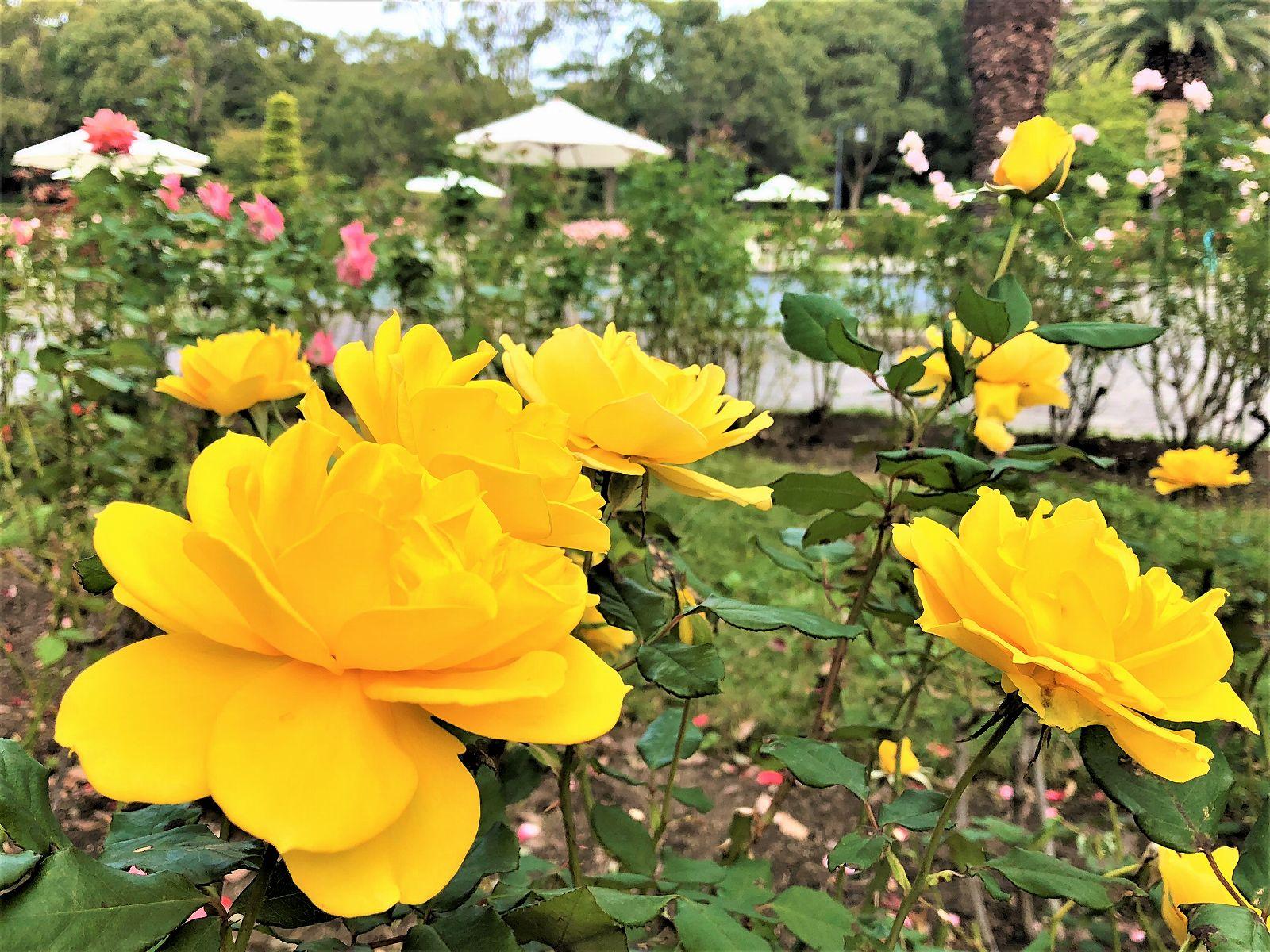 神戸市立須磨離宮公園で10月19日から11月7日まで「秋のローズフェスティバル2018」が開催されるよ! #須磨離宮公園 #ローズフェスティバル #バラ #須磨区
