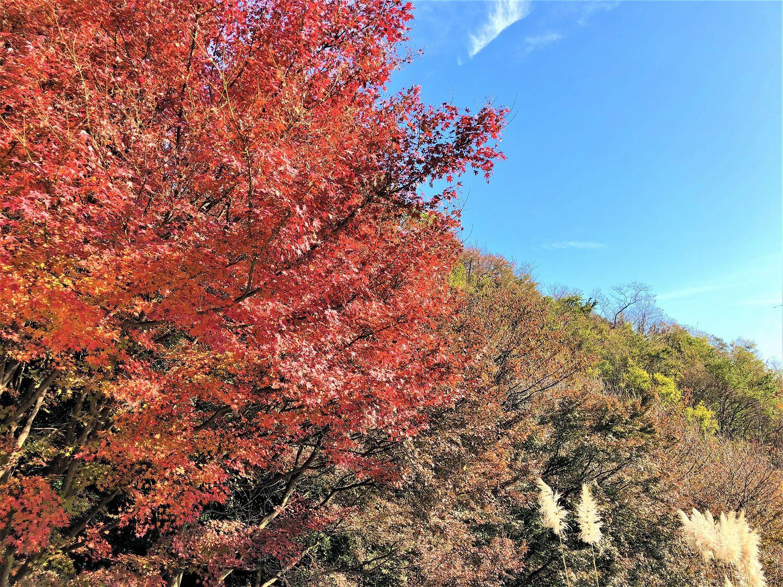 秋のイチオシ!神戸布引ハーブ園の紅葉と期間限定「紅葉カフェ」へ行こう! #神戸布引ハーブ園 #紅葉 #紅葉カフェ #神戸観光