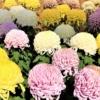 「第67回 神戸菊花展」が10月20日~11月23日まで開催中!相楽園で美しい菊と「旧小寺