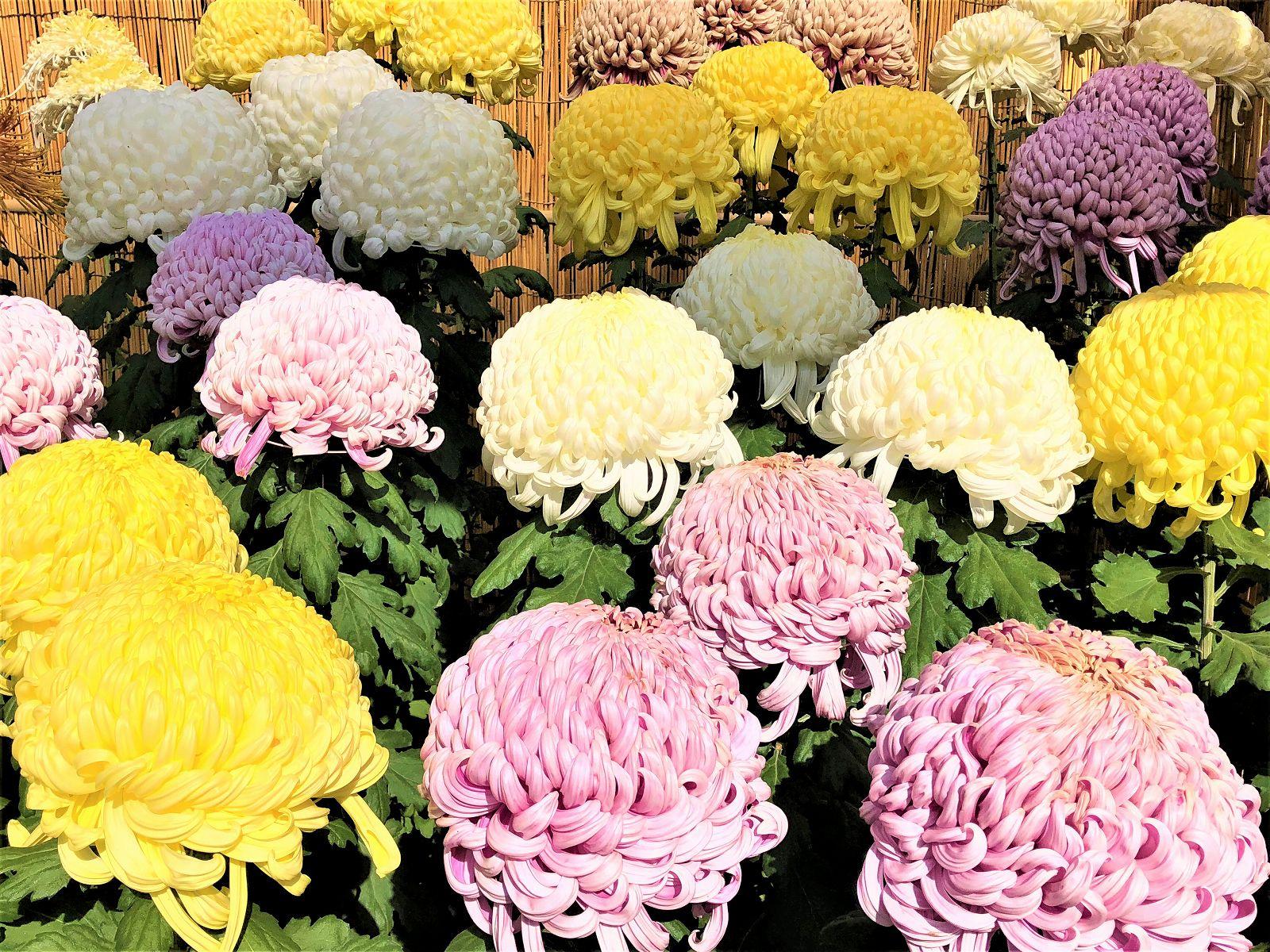 「第67回 神戸菊花展」が10月20日~11月23日まで開催中!相楽園で美しい菊と「旧小寺家厩舎」を堪能してきた! #神戸菊花展 #相楽園 #旧小寺家厩舎 #近代建築 #神戸観光 #河合浩蔵