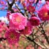 神戸・ 岡本梅林公園 で「摂津岡本梅まつり2019 」が2/24(日)に開催されるよ! #摂