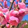 神戸・岡本の「岡本梅林公園」の梅が見頃!2019年も観梅を楽しんできた♪ #岡本梅林公