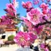 須磨の綱敷天満宮で2月24日(日)・25日(月)「梅花祭」が開催されるよ #綱敷天満宮