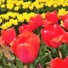 「第18回 六甲アイランド チューリップ祭」4月7日(日)まで開催中!満開のチューリッ
