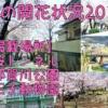 灘区役所が桜の開花状況を写真付でWEBサイト&Facebookで随時お届けするサービスが便