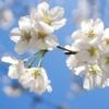 西宮・越水浄水場で「桜の通り抜け」 3/30(土)~4/7(日)まで開催中! #西宮 #越