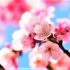「苦楽園さくら祭」の開催 さくらカーニバルは4/7(日)、さくら並木ライトアップは4