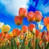 【※チラシ追加!】「第18回 六甲アイランド チューリップ祭」の開催 3月24日(日)~