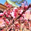 須磨の綱敷天満宮で「梅花祭」が開催、境内の梅は見頃だよ! #綱敷天満宮 #梅花祭 #梅