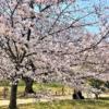 西宮・越水浄水場で「桜の通り抜け」が4/7(日)まで開催中!「にしのみや水道フェス
