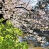 桜の名所「夙川」はおすすめお花見スポット!桜が見頃を迎え、夙川沿いを歩いてみた!