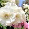 「第8回六甲アイランドバラ祭」RIC ROSE GARDENで5/11~5/26まで開催されるよ! #六甲