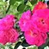 「第8回六甲アイランドバラ祭」RIC ROSE GARDENで5/26まで開催中!満開のバラを見に行