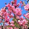 東灘・ 岡本梅林公園 で「摂津岡本梅まつり2020」が2月23日(日)に開催されるよ!【※