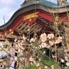 【おすすめ観梅スポット!】東灘・御影の「綱敷天満神社」境内の梅は見頃を迎え、お花