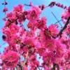 【おすすめ観梅スポット!】東灘・石屋川公園の梅が見頃を迎えたよ! #石屋川公園 #東