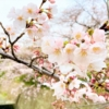 「青谷川沿い~王子公園ジョギングコース」は人混みを避けてお花見が出来るおすすめス