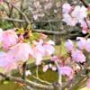 「桜守公園(岡本南公園)」で2020年4月4日(土)に予定されていた「観桜会」は開催中