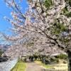 東灘・石屋川公園の桜が満開!石屋川沿いにお花見ウォーキングしてみた! #石屋川公園