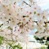 東灘・住吉川公園とその周辺は桜が満開!まるでカーテンのように広がっていたよ♪ #東