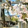 東灘の「桜トンネル」といえば「弓弦羽神社」の参道!満開の桜の下を通り抜けてきた!