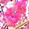 「摂津岡本梅まつり2021」は新型コロナの影響により中止へ@東灘・ 岡本梅林公園 #岡