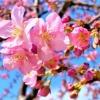 灘の西郷川河口公園で「河津桜」が花開き始めたので、お花見散策を楽しんでみた! #河